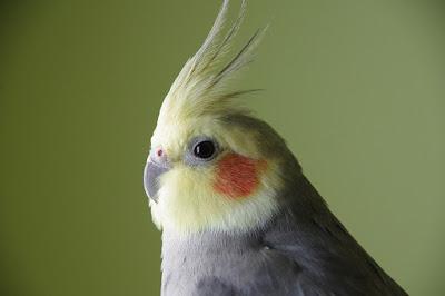 How to breed Cockatiel birds?
