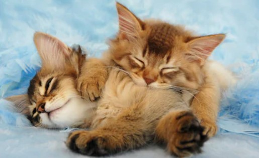 Somali Cat - all you want to know about Somali Cats