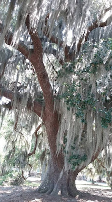 Live oak with spanish moss