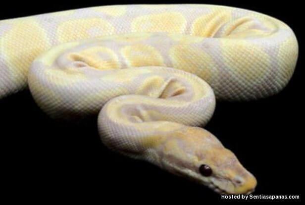 Ular Lavender Albino Python Female.jpg