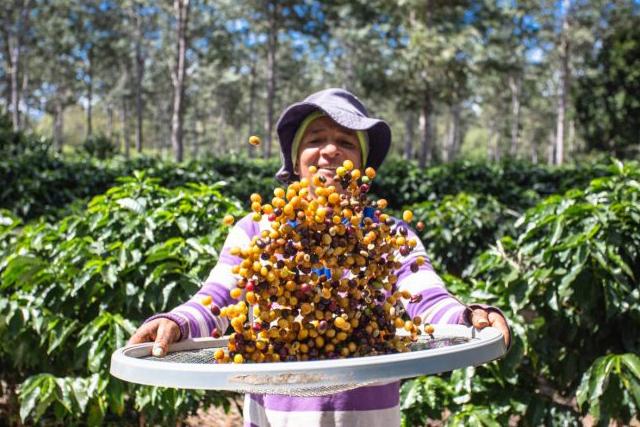Agricultura familiar baiana comemora Dia Mundial do Café