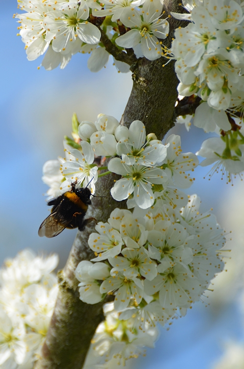 Reine de Bourdon terrestre Bombus terrestris sur fleurs de mirabellier