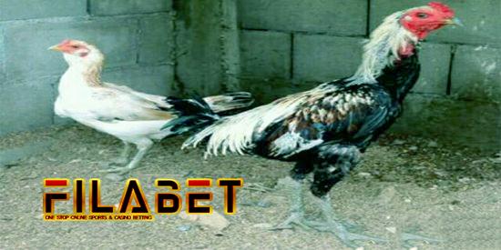 54+ Gambar Ayam Laga Super Terlihat Keren