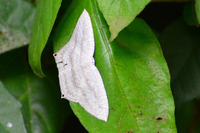 Acropteris ciniferaria