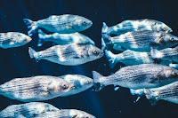 cara ternak ikan gurame, tips ternak ikan gurame, ternak gurame, peluang usaha ternak gurame, bisnis gurame, gurame cepat besar, agar gurame cepat besar, ikan gurame, peluang bisnis gurame