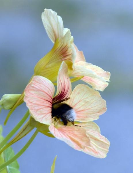 blomkarse humle