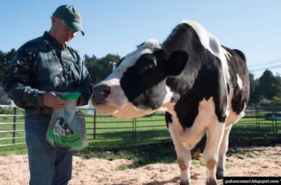 Inilah Lembu Tertinggi di Dunia