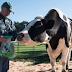 (Video) : Inilah Lembu Tertinggi di Dunia