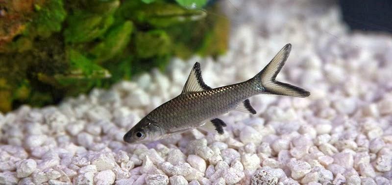 Balantiocheilos melanopterus (Kristal köpekbalığı)