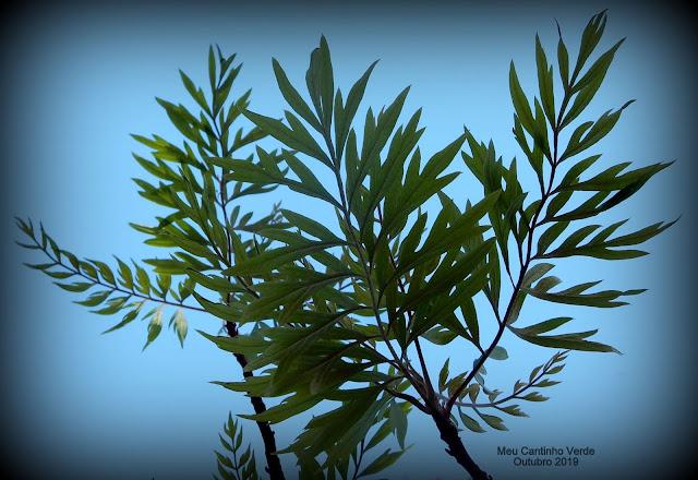 Folhas da  Grevillea robusta)