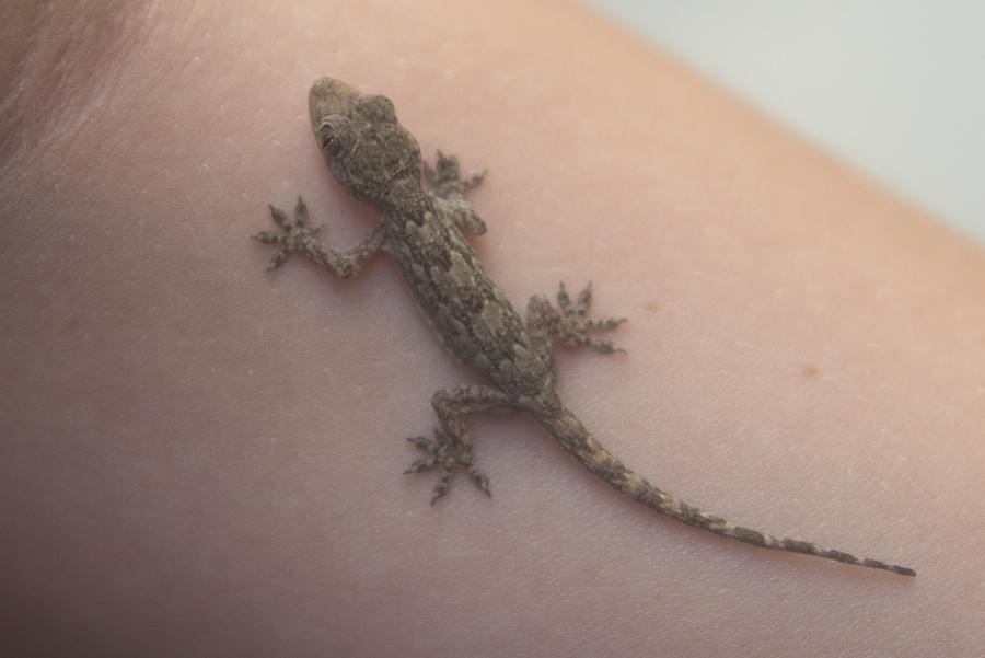 House Gecko Hemidactylus flaviviridis