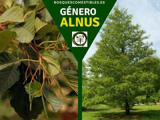 El género Alnus, los Alisos, arboles caducifolios, con hojas alternas