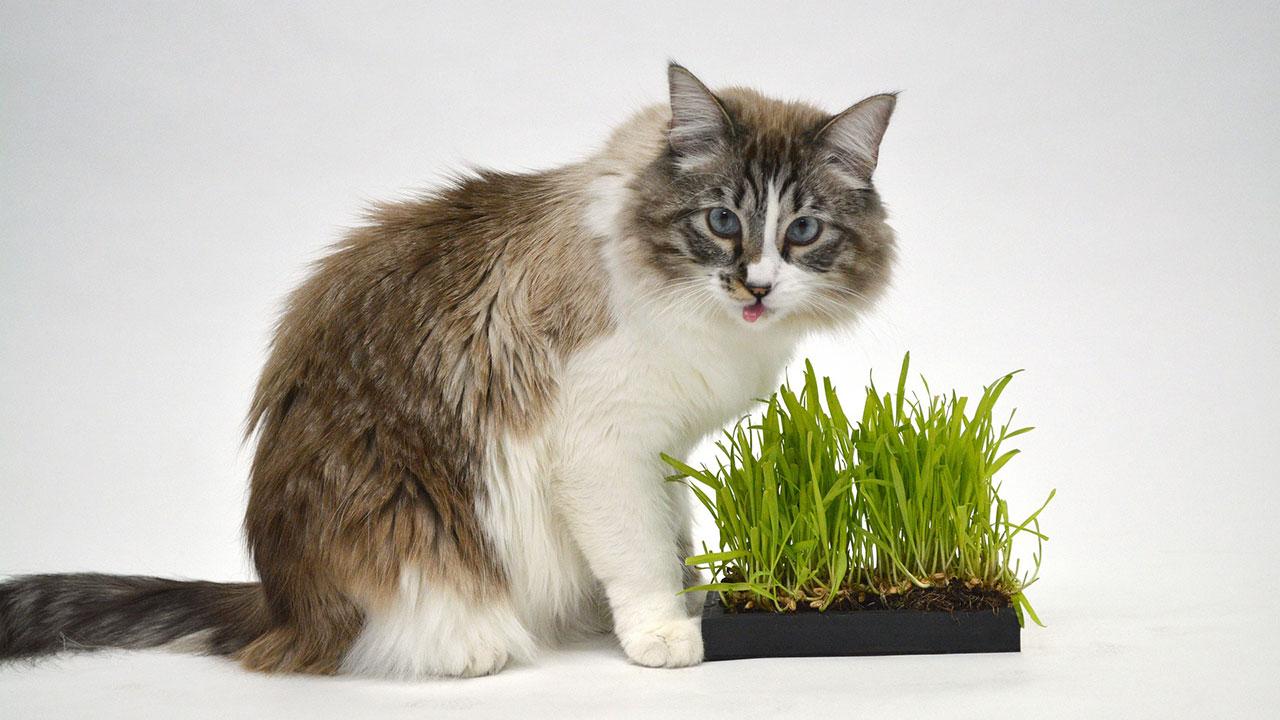 Inilah Alasan Kucing Memakan Rumput