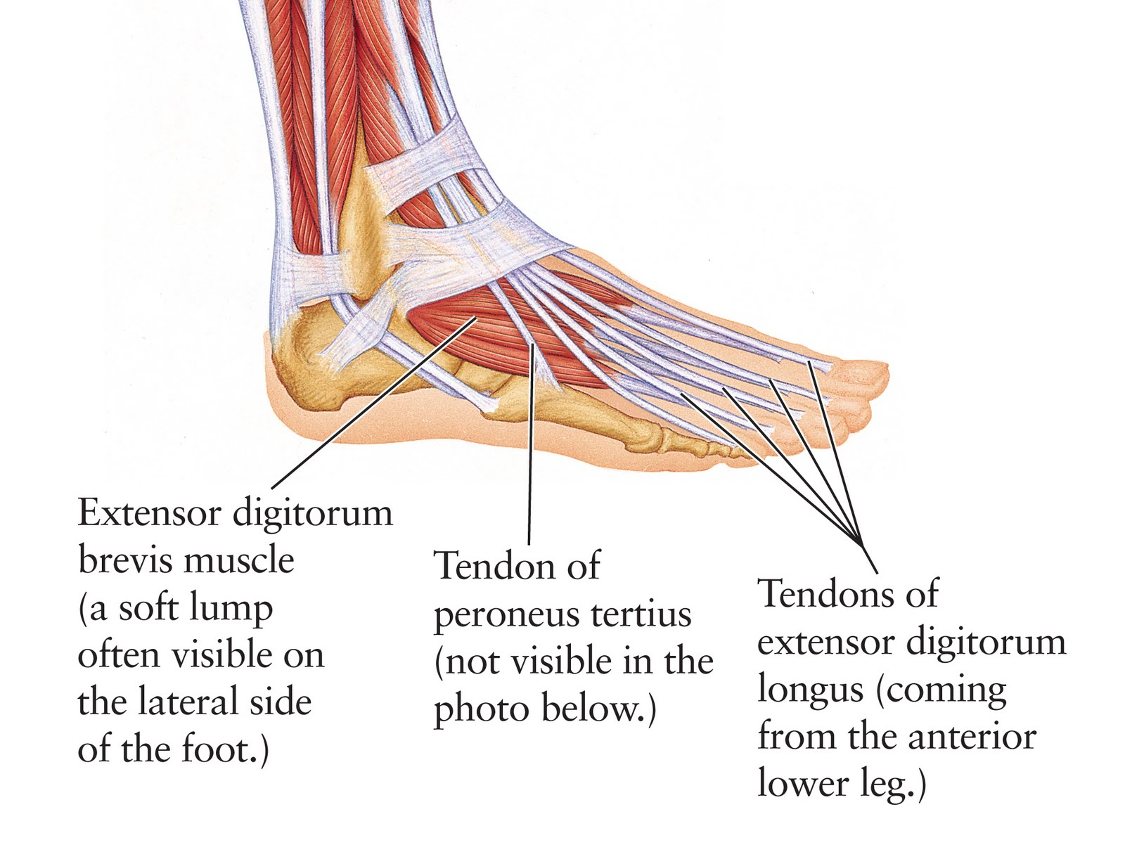 Human Anatomy For The Artist The Dorsal Foot How Do I Love Thee Let Me Count Your Tendons