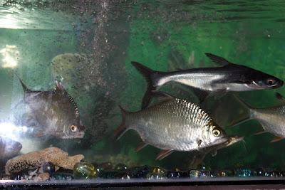 Memelihara Ikan Patin Di Aquarium ?