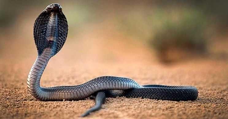 Kral Kobra dünyanın en uzun ve aynı zamanda en zehirli yılan türüdür.