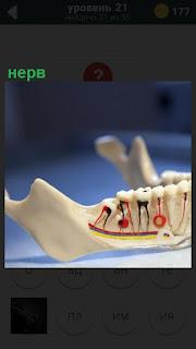 Макет зубов и цветным выделены нервы под зубами, как они проходят