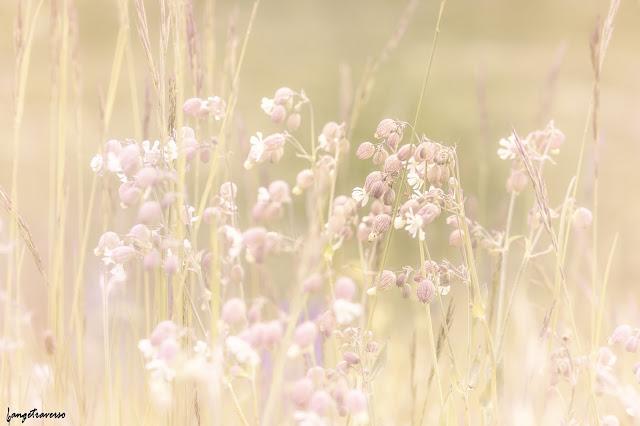 flore des alpes, flowers, silène, silène enflée, fleurs des alpes, fleur, nature