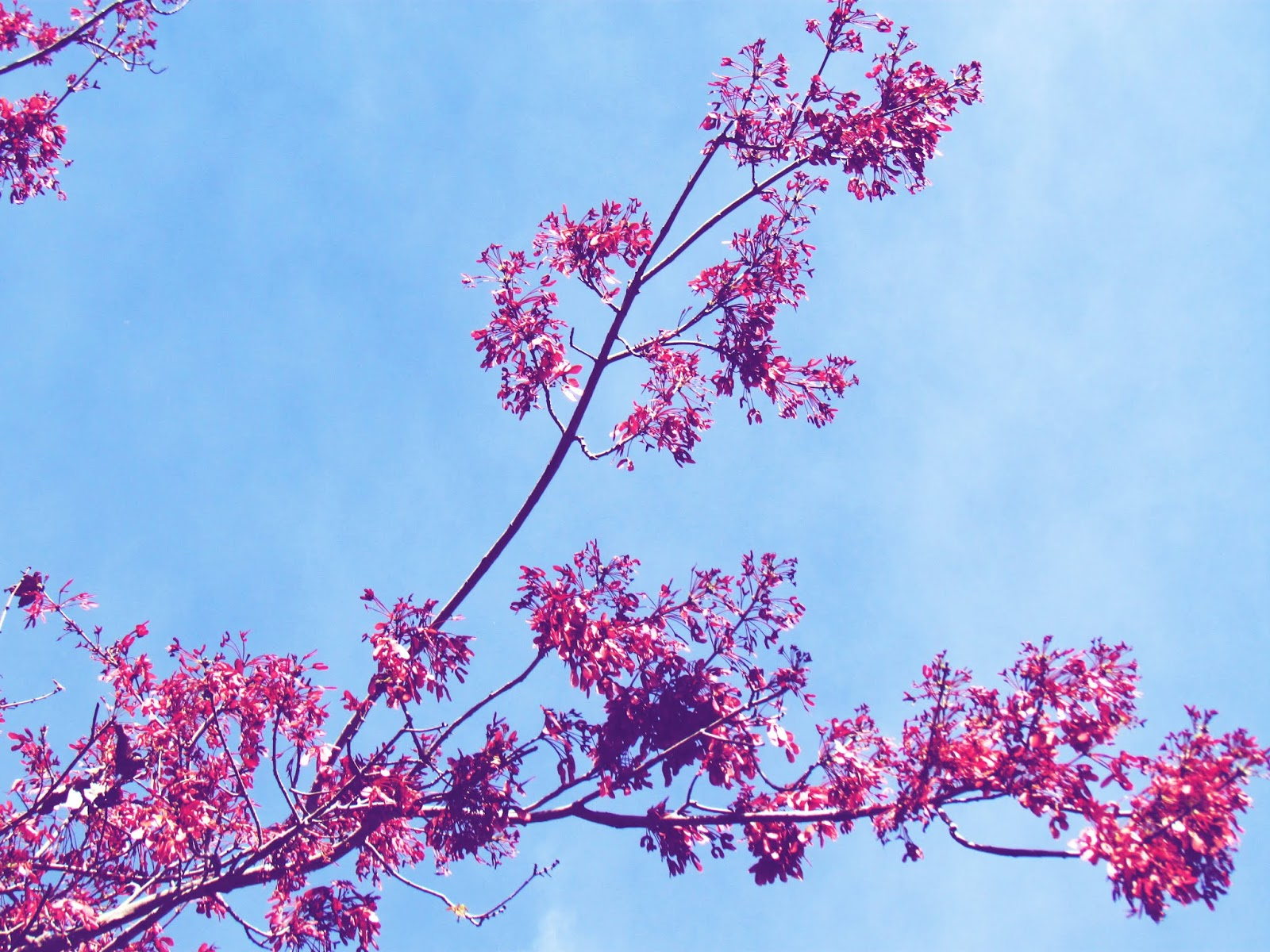 Spring Fever With Dreamy Red Flowery Trees and Bright Blue Skies