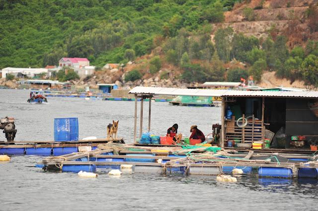 Bè cá nuôi Tôm Hùm ở Vũng Rô