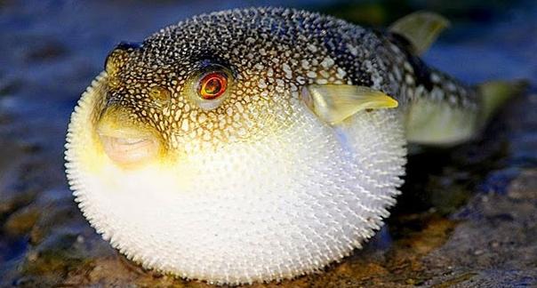 Ini 4 Fakta Racun Ikan Fugu (Buntal)