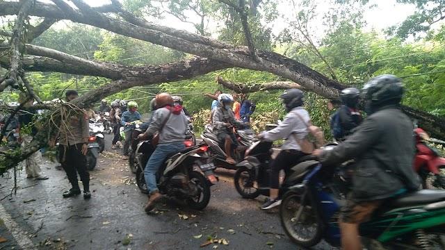 Pohon Wali Kukun Tumbang Menutup Jalur Jogja-wonosari