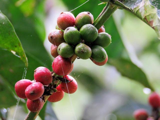 Coffee plant in Uganda's Bigodi Swamp
