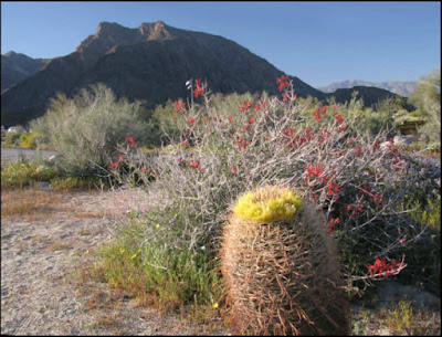 California, CA, desert, Anza-Borrego Desert State Park, flowers, wildflowers, barrel cactus, Indian Head Mountain, chuparosa