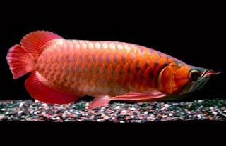 Bentuk Kepala Ikan Arwana Yang Bagus