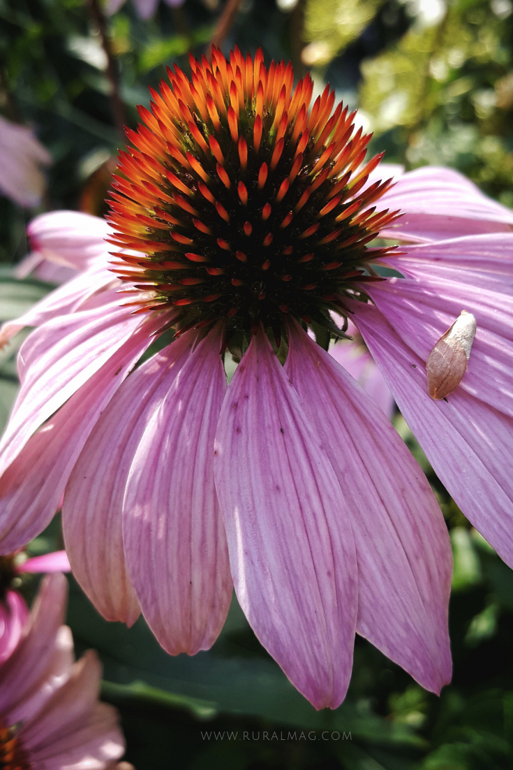 Echinacea flower in pink. www.ruralmag.com