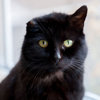 Vinnie the black cat is an older cat success story for Mature Moggies Week