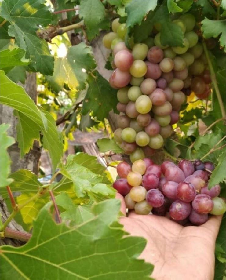 bibit anggur import ninel asli grafting