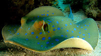 Stingray fish pictures_Myliobatoidei