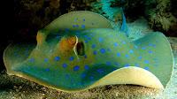 Stingray fish pictures_Myliobatoidei