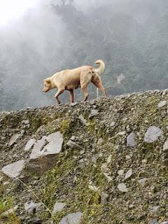 Dingo, Anjing Misterius di Papua Penjaga Puncak Tertinggi