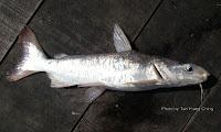 Longsnouted Catfish