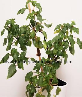 begonia-cubensis