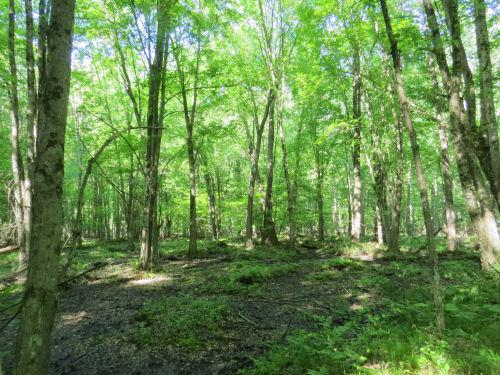 bottomland hardwood swamp