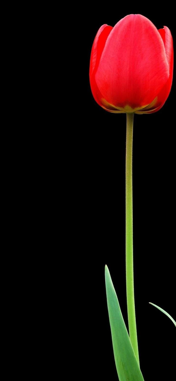 wallpaper iphone xs, sfondo nero, tulipano rosso, fiore