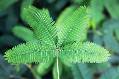 Shameplant Leaves
