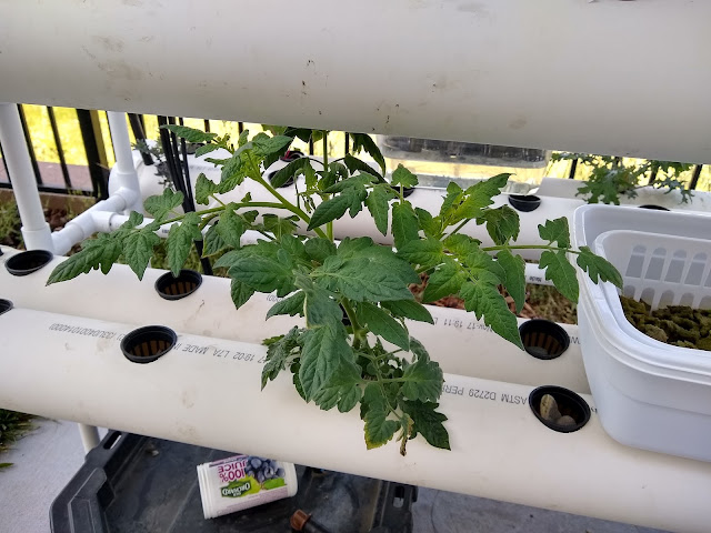 cherry tomato in nft hydroponics