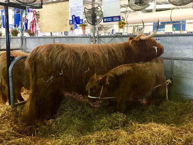 Highland cows at the Royal Highland Show, Edinburgh, Scotland