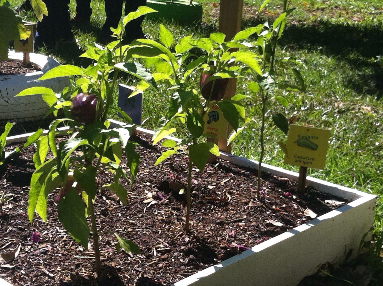 Agro juvenil el cultivo del pimiento en el huerto escolar for Cultivo pimiento huerto urbano