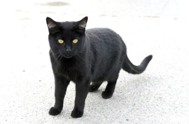 Bombay Cat  - all you want to know about Bombay Cats