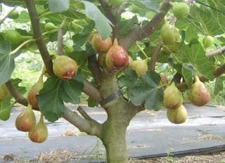 Cara Agar Buah Tin Cepat Matang di Pohon Dan Manis