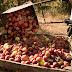 Entró en vigencia la obligatoriedad de las BPA para producir y comerciar frutas