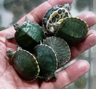 jual-kura-kura-brazil.jpg