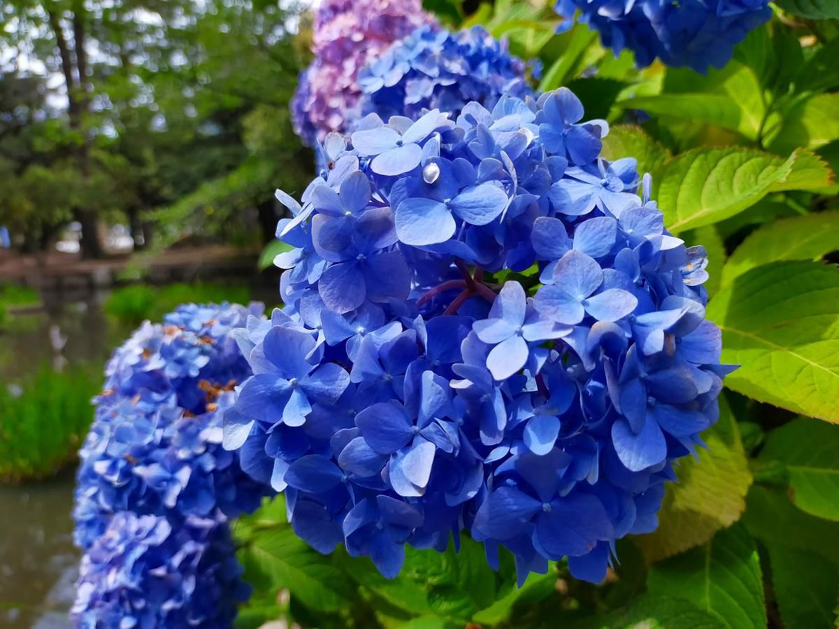 濃い青色のあじさいのアップの写真。