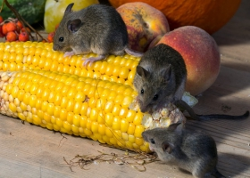 Picture of rat eating maize.