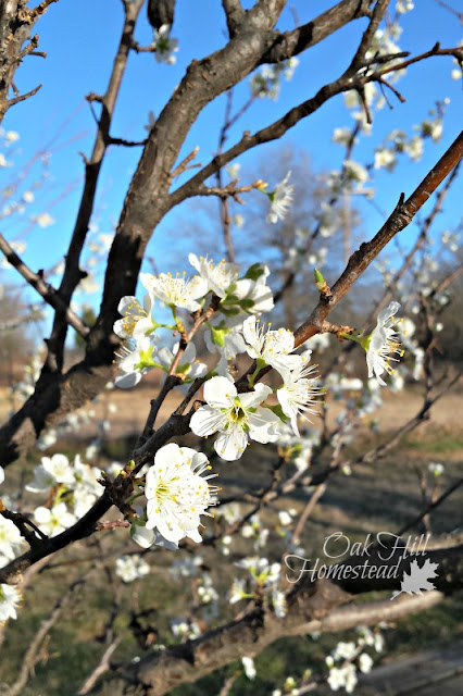 White flowers on the plum tree
